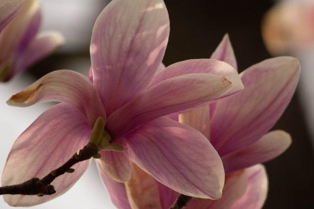 20200420-Magnolias_4884
