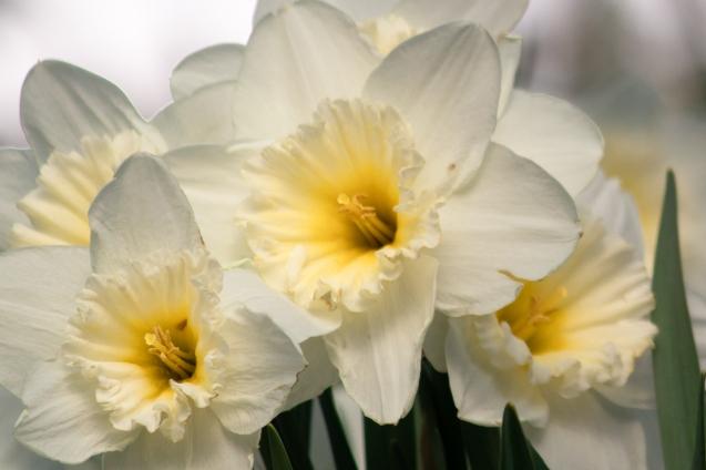 20200420-Magnolias_4946